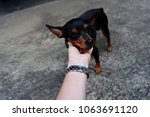 Stock photo little black and brown miniature pinscher puppy play with his owner outdoor playground house 1063691120