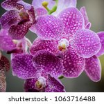 orchids orchids purple is... | Shutterstock . vector #1063716488