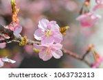 kawazu cherry tree | Shutterstock . vector #1063732313
