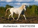 Small photo of white Thoroughbred Arabian horse running trot