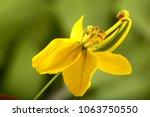 Golden Rain Tree Flowers ...