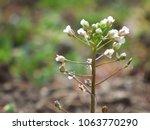 wild grass  shepherd's purse  ... | Shutterstock . vector #1063770290