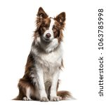 border collie  1 year old ... | Shutterstock . vector #1063785998