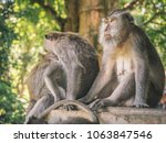 wild monkeys sitting together... | Shutterstock . vector #1063847546