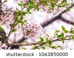 cherry blossoms close up in... | Shutterstock . vector #1063850000
