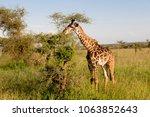 giraffes in the savannah of... | Shutterstock . vector #1063852643