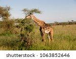 giraffes in the savannah of... | Shutterstock . vector #1063852646