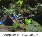 Small photo of Poison dart frog (Dendrobatidae) at SEA Aquarium, Singapore