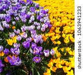 colourful crocus flower field.... | Shutterstock . vector #1063941233