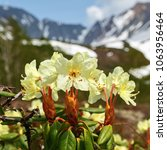 Small photo of Spring flora of Kamchatka Peninsula: beautiful golden flower Rhododendron Aureum on background of mountains in sunny weather. Kamchatka, Russian Far East, Eurasia. Concept revival of life after winter