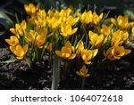 Small photo of Yellow Crocus. Chrysanthus Goldilocks. One of the first flowers in spring.