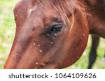 Close Up Of A Horse\'s Head Wit...