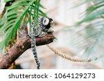 funny little mokeys subspecies... | Shutterstock . vector #1064129273