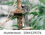funny little mokeys subspecies... | Shutterstock . vector #1064129276