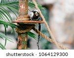 funny little mokeys subspecies... | Shutterstock . vector #1064129300