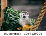 funny little mokeys subspecies... | Shutterstock . vector #1064129303