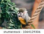funny little mokeys subspecies... | Shutterstock . vector #1064129306