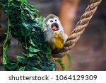 funny little mokeys subspecies... | Shutterstock . vector #1064129309