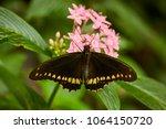 gold rim swallowtail butterfly  ... | Shutterstock . vector #1064150720