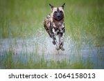 African Wild Dog  Lycaon Pictu...