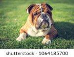 Cute English Bulldog Laying...
