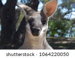 adult male whip tailed wallaby... | Shutterstock . vector #1064220050