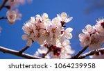 spring blossom background....   Shutterstock . vector #1064239958