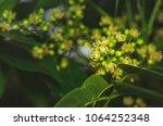 dominican mahogany  flower ...   Shutterstock . vector #1064252348