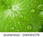 Water Drop On Green Lotus Leaf