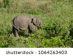 asian elephants are the largest ... | Shutterstock . vector #1064263403