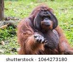 orang utan demanding food at... | Shutterstock . vector #1064273180
