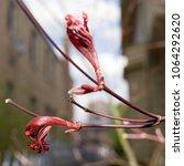Two Shrivelled Flower Buds...
