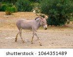 single somali wild ass donkey ... | Shutterstock . vector #1064351489