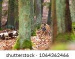 the siberian tiger  panthera... | Shutterstock . vector #1064362466