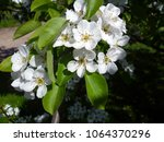 blossoming flowers on the apple ... | Shutterstock . vector #1064370296