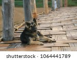 dog is sitting on bamboo bridge | Shutterstock . vector #1064441789
