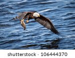 Bald Eagle Snatching A Fish...