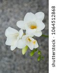 Small photo of Close up blossom of beautiful white freesia (Iridaceae, Ixioideae) flower with buds on grey textured background. Pastel creamy and yellow colors. Copy space for text, greeting card. Spring, love.