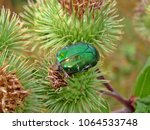 Small photo of Closeup of a green bug (cetoniidae) sitting on a thistle in the Turgen Gorge, Almaty Province, Kazakhstan. Autumn journey to the Kairak waterfall.