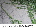 green ivy creeper growing on a... | Shutterstock . vector #1064548970