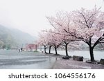 full bloom of pink cherry... | Shutterstock . vector #1064556176