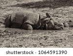 Indian One Horned Rhinoceros....