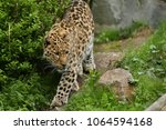 endangered amur leopard in the... | Shutterstock . vector #1064594168