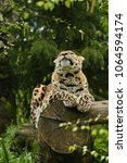 endangered amur leopard in the... | Shutterstock . vector #1064594174