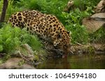 endangered amur leopard in the... | Shutterstock . vector #1064594180