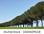 Long Row Of Pines Among Fields...