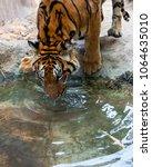 the big bengal tiger drink water | Shutterstock . vector #1064635010