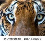 eye the big bengal tiger | Shutterstock . vector #1064635019
