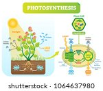 photosynthesis biological... | Shutterstock .eps vector #1064637980