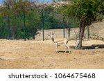 Small photo of Single sand gazelle (Gazella marica) in nature reserve. Island Sir Bani Yas, UAE.